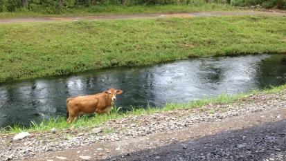 Cow in Pedasi