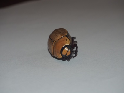 Egyptian Scarab Beatle