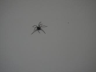 Minor Tarantula Perhaps? No idea!